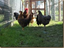 hühner und hahn 1